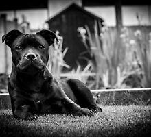 Staffordshire bullterrier puppy by Xenne