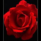 Red Rose On Black (Rosa Paul's Scarlet Climber) Labeled by Alan Harman
