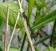 Damselfly 2 by Jess Meacham