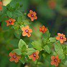 Scarlet Pimpernell Wildflower - Anagallis arvensis by MotherNature