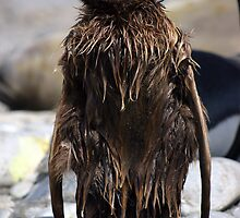 A very wet King Penguin Chick by rosepetal2012