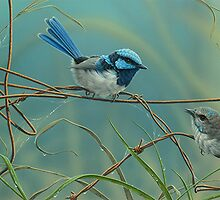 Superb fairy-wrens by Christopher Pope