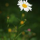 Rainy Day Daisy by Tracy Friesen