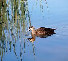 Duck, Lake Ginninderra, Canberra, Australia. by kaysharp