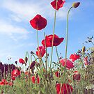 Poppies In A Field by LittlePhotoHut