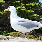 The White Head Gull by Thomas Janowski