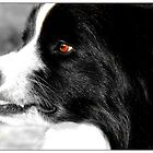 border collie crowling by dedakota