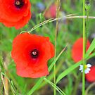 Poppies  by 7horses