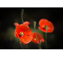 Poppies enjoying the sun... Photographic Print