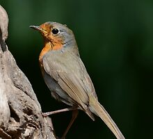 Summer Robin by Peter Wiggerman