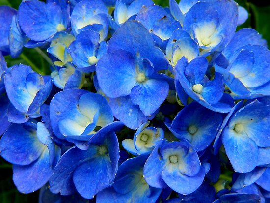 Blue Hydrangea in the Garden by ctheworld