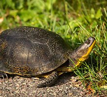 Blanding's Turtle by Thomas Young