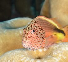 Black-backed Hawkfish - Paracirrhites forsteri by Andrew Trevor-Jones