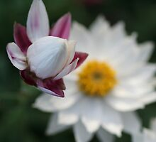 Budding paper daisies by Leanne Davis
