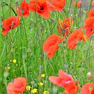 Red poppies by 7horses