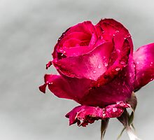 Red Rose by mlphoto
