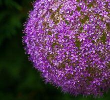 allium flower by TAMÁS KLAUSZ