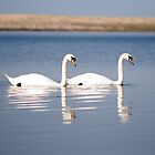 2 Swans by paulwhittle