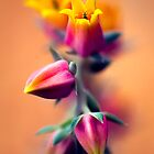 Echeveria posing by alan shapiro