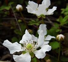 Wild Dewberry Blossoms by WildestArt