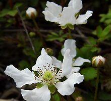 Wild Dewberry Blossoms by WildestArt