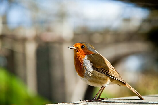 City Robin by Gary Rayner