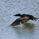 Cormorant in flight by Larry Trupp