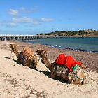Camel Rides at Victor Harbor by Gail Mew