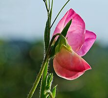 Sweet Peas Flowering by Susie Peek