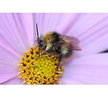 Bumble Bee Macro Photographic Print
