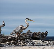 Great Blue Heron in the Galapagos by Bruce Alexander
