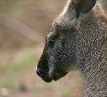 Wallaby II by GreyFeatherPhot