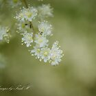 Oceanspray flowers by Trish  Hooker