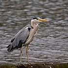 Grey Heron by VoluntaryRanger
