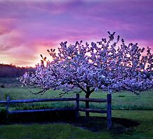 Apple Blossom Sunrise  by Kathy Weaver