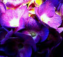 Purple Hydrangea by Koon