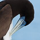 Brown Booby  (Sula leucogaster) by Chris  Arts