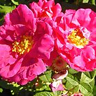 Governor General's Roses 10 by Shulie1