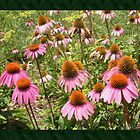 Coneflowers by JBonnetteArt
