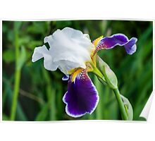 Gentle White and Violet Iris Poster