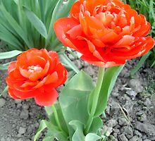Two red tulips by Ana Belaj