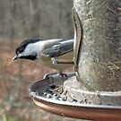 Chickadee On Feeder by teresa731