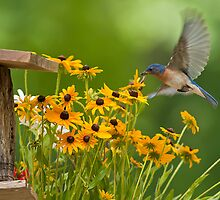 BLUEBIRD Flying over the Black Eyed Susans by Randy & Kay Branham