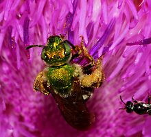 Sweat Bee on Thistle flower by Kane Slater
