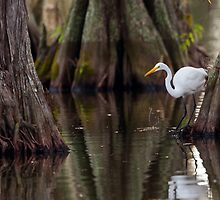 Great Egret Framed by Cypress, Lake Martin, Breaux Bridge, Louisiana by Paul Wolf