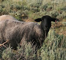 THIS MUST BE THE BLACK SHEEP OF THE FAMILY by Brenda Planchon