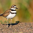 Killdeer by Eivor Kuchta