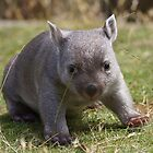 baby wombat by Alenka Co