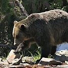 Grizzly Bear on the Mountain... by RichImage