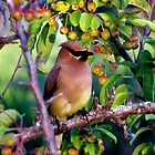 Cedar Waxwing in the Berry Tree by sevenfeathers